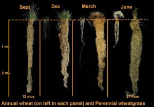 A photoillustration compares wheat roots to those of Kernza wheatgrass in four seasons; the roots of the perennial Kernza plant grow significantly deeper than those of the annual wheat.